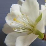 Csersznyeszilva virága