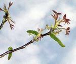 Bach virágesszencia, diófa