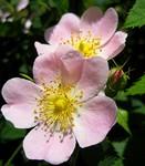 Bach virágesszencia, vadrózsa