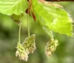 Bach virágterápia-Bükkfa