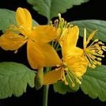 Vérehulló fecskefű -Éden virágesszencia