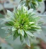 Zöld rózsa-Éden virágesszencia